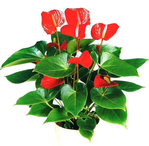 Комнатный цветок с красными цветками похож на каллы