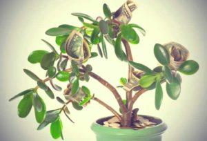 Деньги в комнатном цветке в подарок