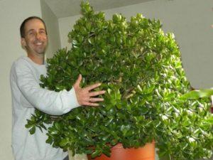 Денежное дерево, выращенное в домашних условиях