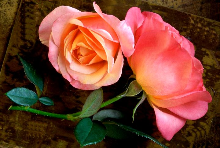 Пара розовых роз