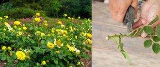 Розы в саду, обрезка роз