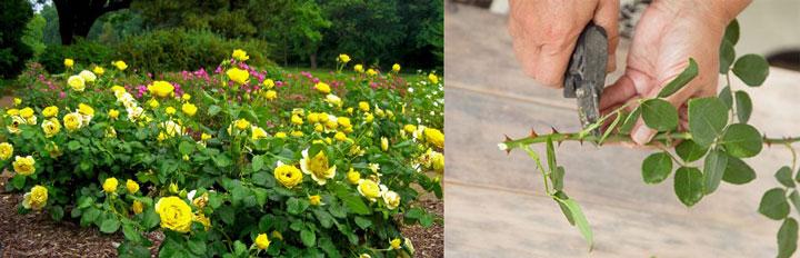 Желтые розы в саду, обрезка роз