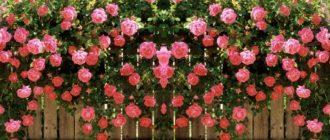 Чайная роза розового цвета