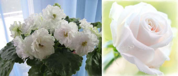 Белые фиалка и роза