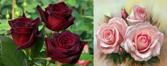 Три розы бордовые и розовые