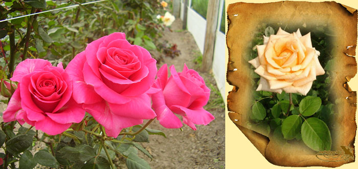 Розы живые и нарисованные