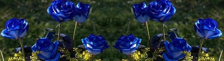 Розы синего цвета