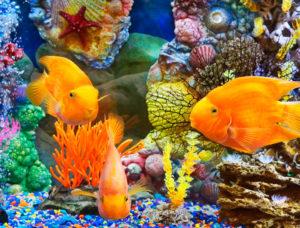 Аквариум с золотыми рыбками и кораллами