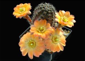 Интересный кактус в подарок