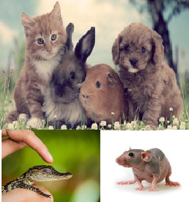 Домашние питомцы: котик, кролик, свинка, щенок, крыска, крокодильчик.