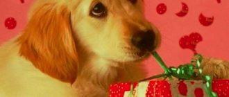 Лабрадора щенок