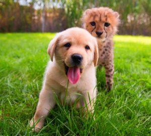 На траве щенок и леопард