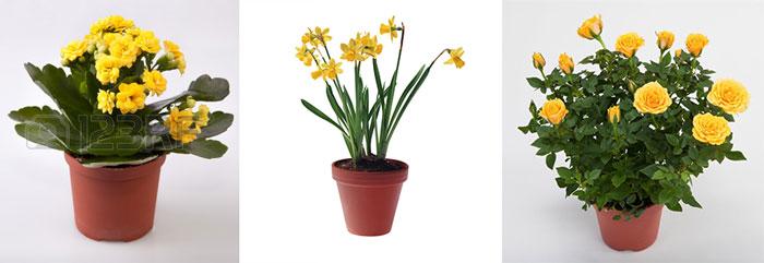 желтые цветы в горшке, розы, каланхое и нарцис