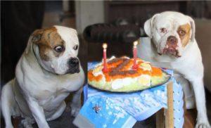 Бульдог, лабрадор и тортик