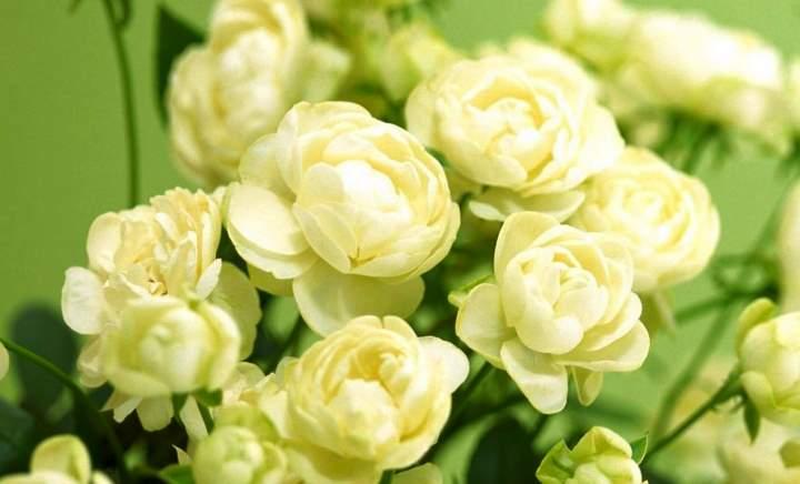 Язык цветов к чему дарят белые розы
