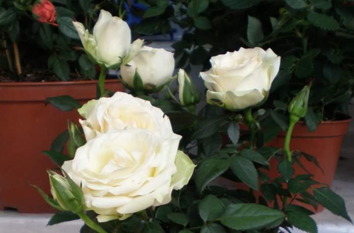 Белые розы в горшке